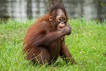 Infant Orangutan Eating Grass,...
