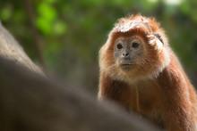 Javan Lutung In The Jungle, Indonesia