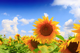Fototapeta Flowers - Beautiful sunflower against blue sky
