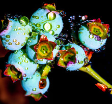 Close Up Of Water Droplets On Blueberries
