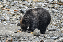 Bear Cub Looking For Food Along A Riverbank, Campbell River, Vancouver Island, British Columbia, Canada