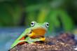 Javan tree frog sitting on a branch, Indonesia
