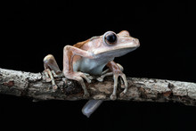 Close Up Of File Eared Tree Frog Sitting On Branch