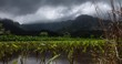 Taro Field Hanalei Valley Kauai Hawaii Time Lapse
