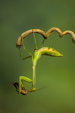 Mantis On A Branch Holding Insect Prey, Indonesia