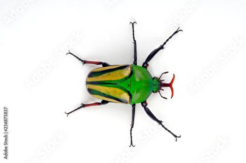 rosenkäfer kaufen