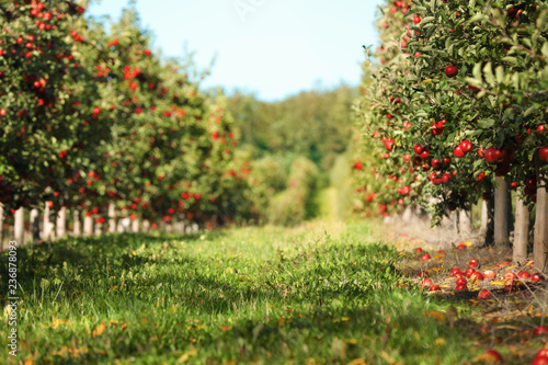 Beautiful view of apple orchard on sunny autumn day Canvas