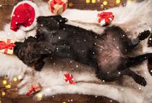 Black Dog Posing In Santa Outf...