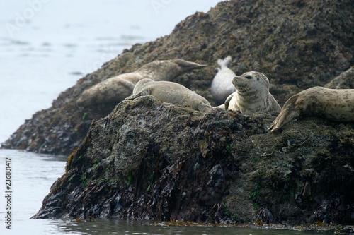 Photo  Harbor seals on offshore rocks, Trinidad Beach, Trinidad, California, USA