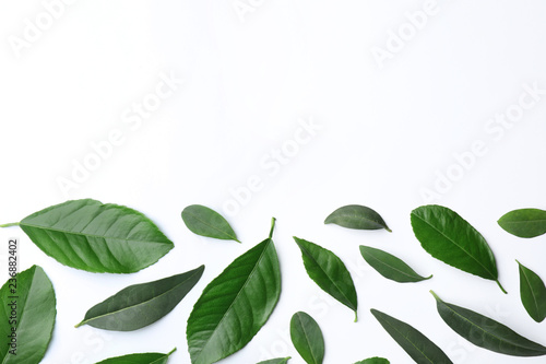 Fresh green citrus leaves on white background, top view. Space for text