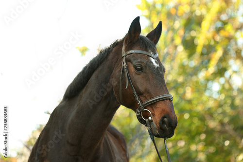 Valokuvatapetti Beautiful brown horse in leather bridle outdoors