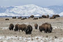 American Bison Grazing On The Prairie In Winter Near Denver, Colorado