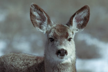 Adorable Young Female Mule Deer Finds Food On A Sunny Winter Day Near Denver, Colorado