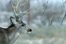 Male Mule Deer On A Sunny Winter Day Near Denver, Colorado