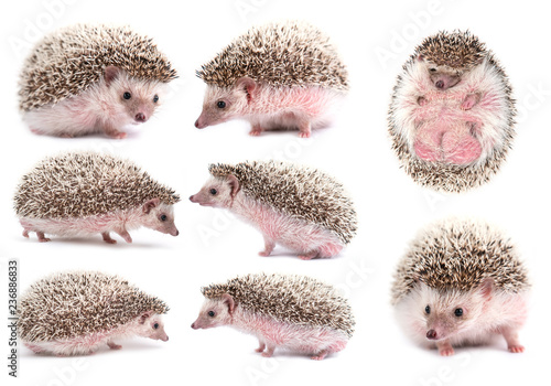 african pygmy hedgehog isolated Fototapet