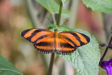 Butterfly 2018-39 / Banded Orange Butterfly (Dryadula Phaetusa) With Open Wings