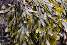 Bladderwrack Seaweed, Martin C...