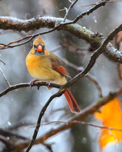 Female Northern Cardinal Perched On The Branchat Jester Park, Iowa, USA
