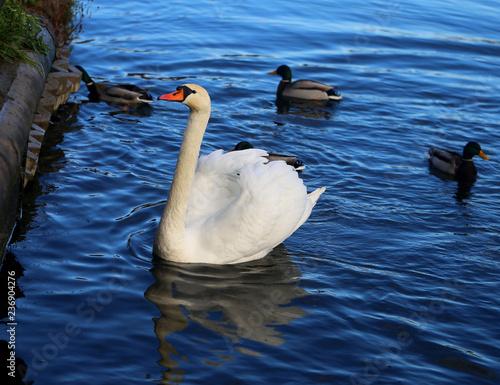 Bright macro photo of a beautiful white swan