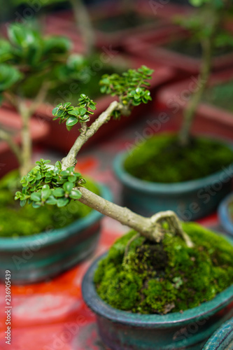Young Little Bonsai Tree On Market For Sale Buy This Stock Photo And Explore Similar Images At Adobe Stock Adobe Stock