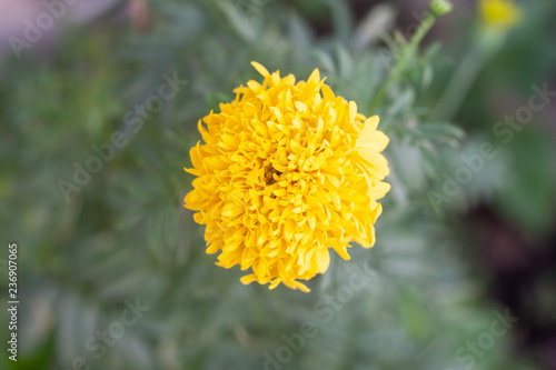 Foto  Beautiful yellow marigold on blur nature background top view.