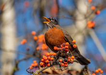 American Robin (Turdus Migratorius) Singing Among Orange Berries In A Mountain Ash Tree In The Autumn
