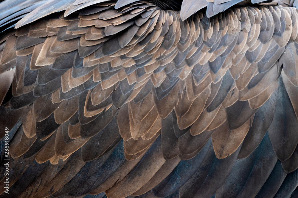 Fototapety, obrazy: Closeup of brown feathers of a vulture