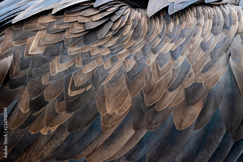 Closeup of brown feathers of a vulture Poster Mural XXL