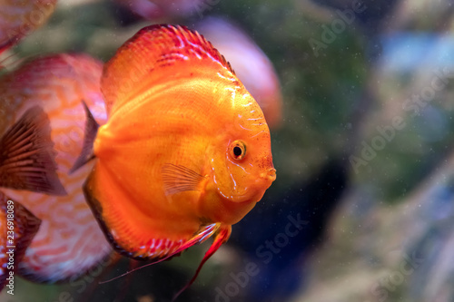 Fotografering  Symphysodon discus in an aquarium