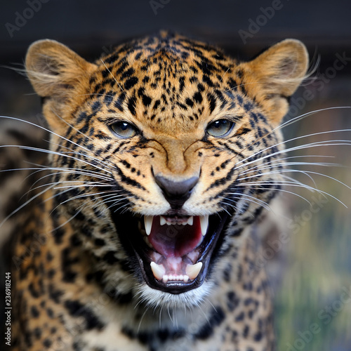 Leopard portrait in nature