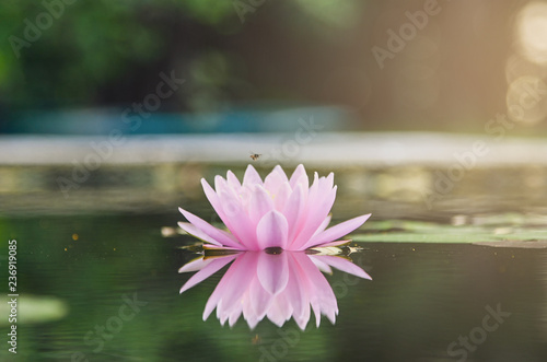 Poster de jardin Nénuphars beautiful lotus flower on the water after rain in garden.