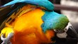 4K Colorful parrot Ara with bright plumage of blue, yellow, green and white color, sits on barling. Macaw close-up