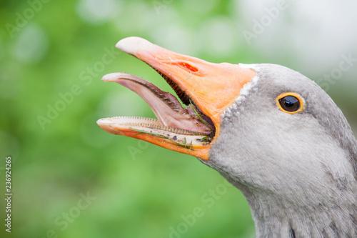 Photo gray goose head with open beak