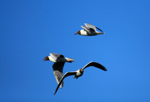 Flock Of Adult Laughing Gull B...