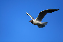 Single Adult Laughing Gull Bir...
