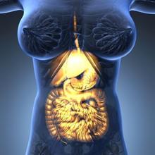 Science Anatomy Of Woman Body With Glow Digestive System