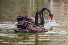 Portrait Of Two Black Swans Swimming In A Lake, Indonesia