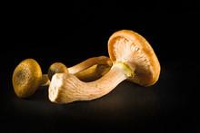 """Some Mushrooms Of """"Armillaria ..."""