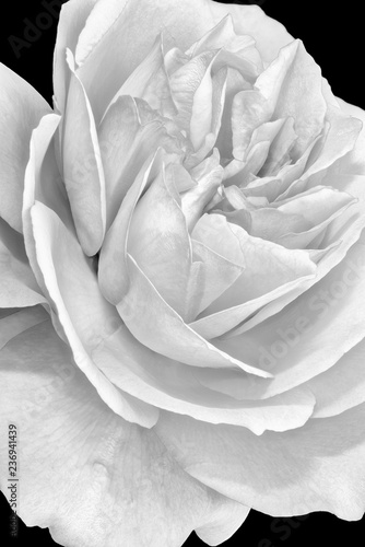 Foto-Fahne - Fine art still life monochrome black and white flower macro photo of a the inner of a single isolated wide open rose blossom with detailed texture (von Olaf Holland)