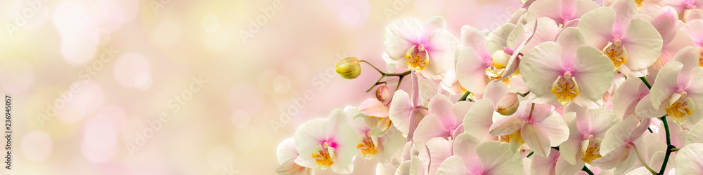 Fototapety, obrazy: Delicate white Orchid
