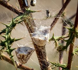 Gespinnst von Spinnen in einer dornigen Pflanze