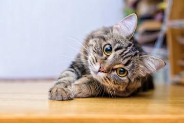 Portrait of a beautiful gray striped cat close up