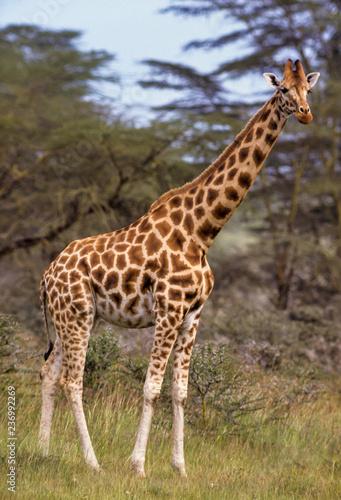 Poster Giraffe Girafe, Giraffa tippelskirchi, Kenya