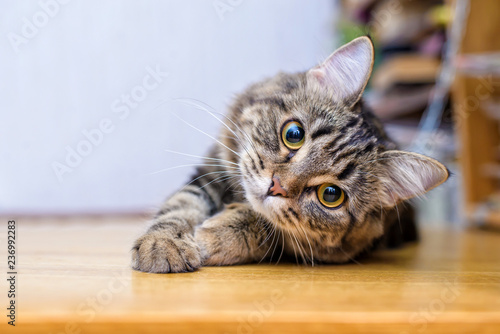 La pose en embrasure Chat Portrait of a beautiful gray striped cat close up