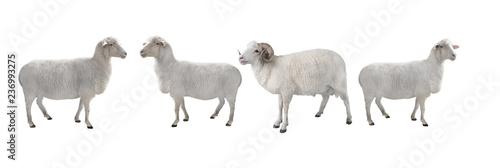 Fototapeta white ram and sheep isolated
