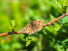 Dingy Skipper Butterfly ( Eryn...