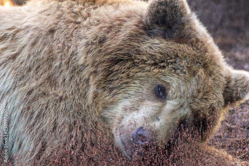 Fotografie, Obraz  Orso bruno che sta riposando