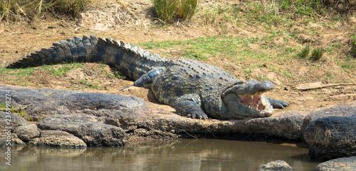 Riesenkrokodil am Mara River, Kenia