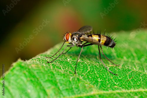 Image of a long-legged fly (Dolichopodidae) on green leaves. Insect. Animal