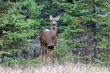 Virginia Doe Deer Surprised At The Bic National Park